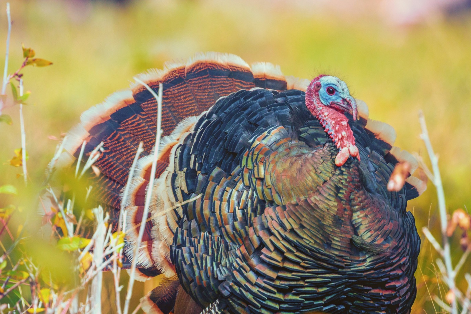 Turkeys: the cruelty behind Christmas dinner